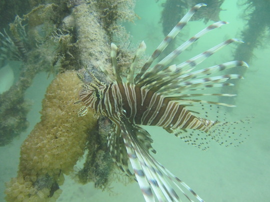 Lionfish spotted during the derby