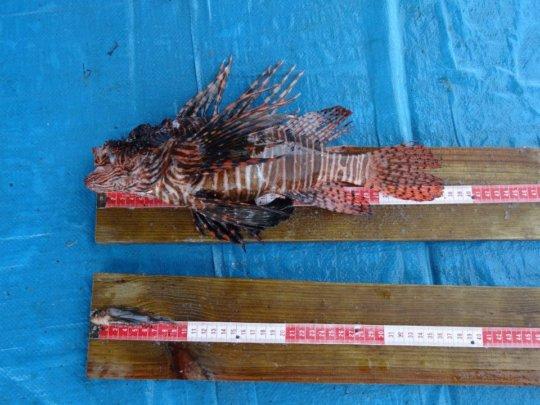 Lionfish measurements