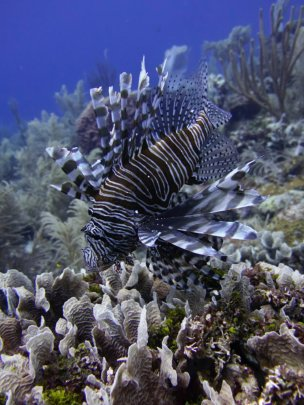 Lion Fish in Roatan Waters