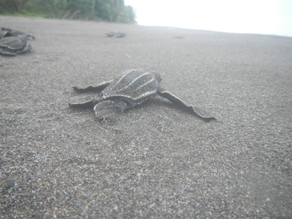 Baby Green Turtles making their way to the sea!