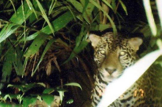 Jaguar caught on a camera trap