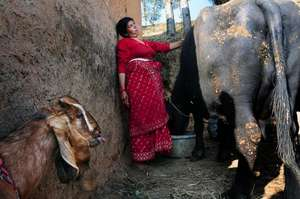 Sibitri and her buffalo