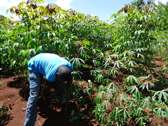 Isaac inspecting his cassava crop