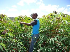 Isaac inspecting his cassava crop