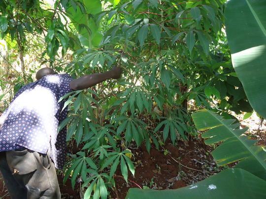 Njoroge in cassava field