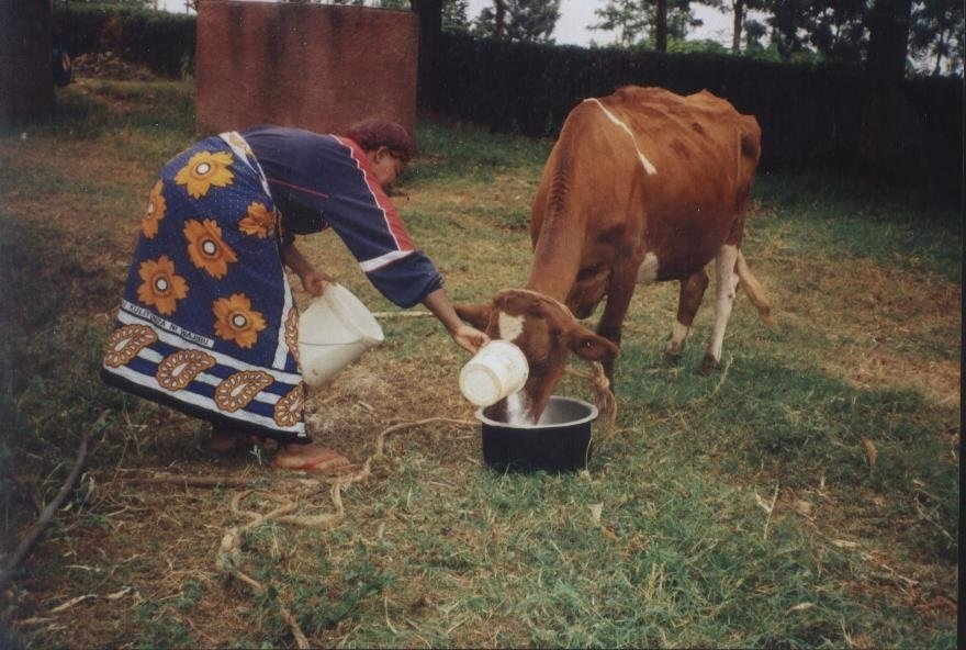 Ekila feeding her cow