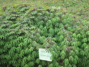 Cassava plants in cultivation