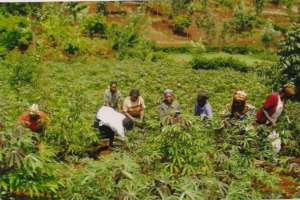 Women tending cassava