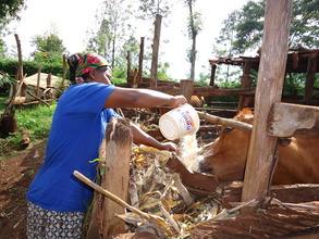 Rachel feeding cassava to her cow