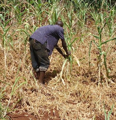 Mr. Muchoki in maize field-note dying maize