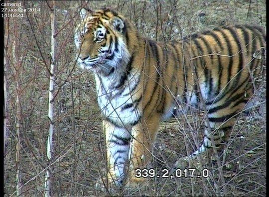 Tikhon (c) Inspection Tiger