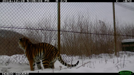 Tikhon watches the deer from his enclosure (c) IT