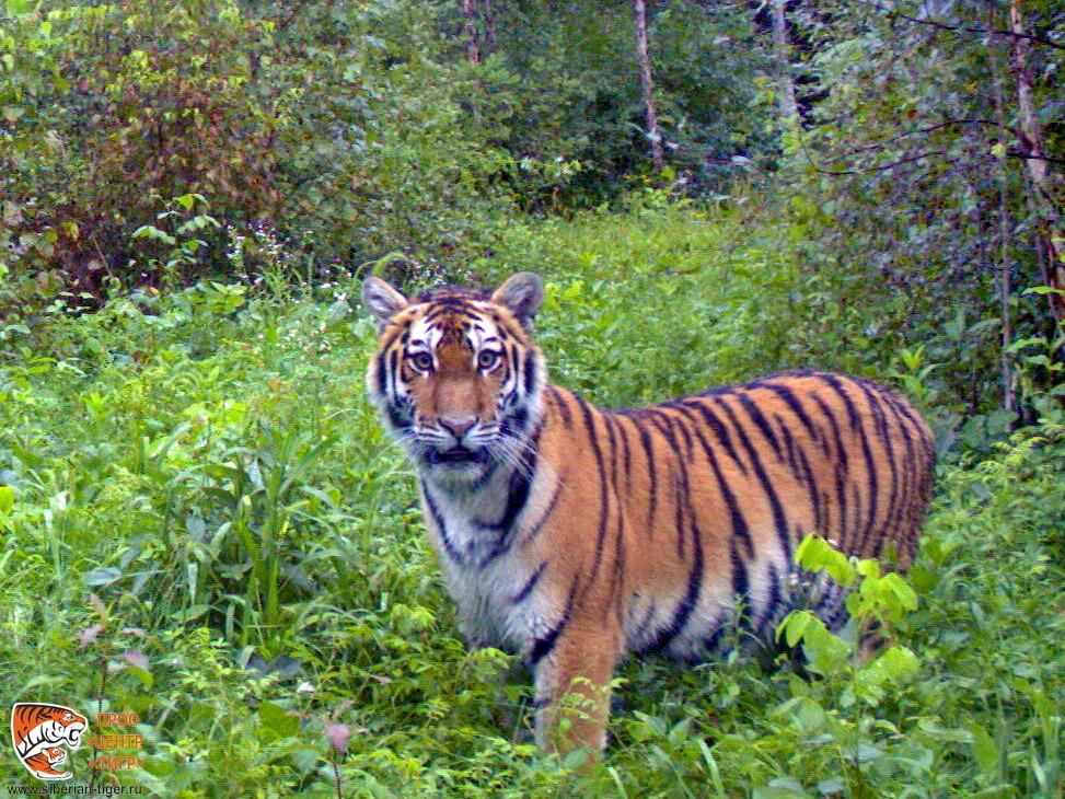 Filippa in the enclosure (c) Tiger Center