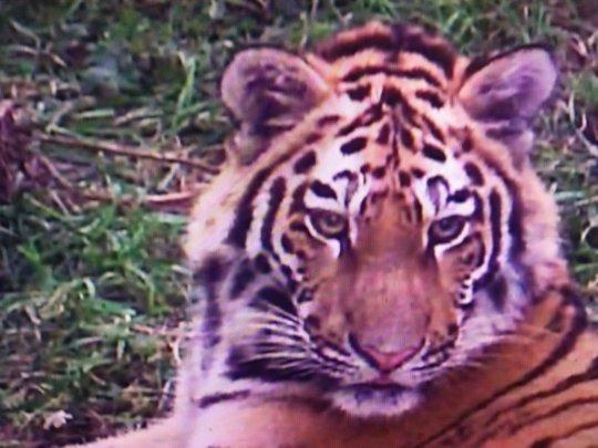 """(c) MRNCO """"Tiger Centre"""""""