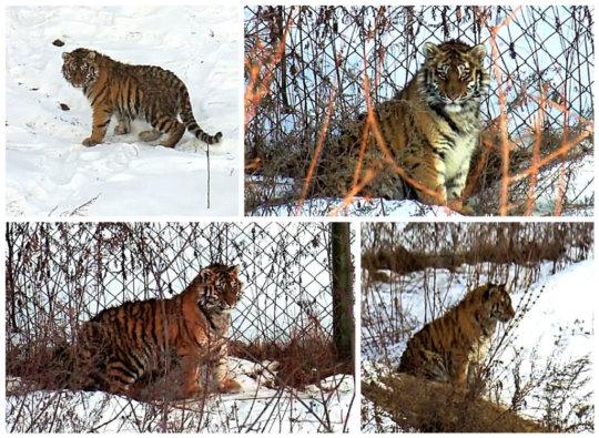 Tigress Lazovka (c) PRNCO Tiger Centre
