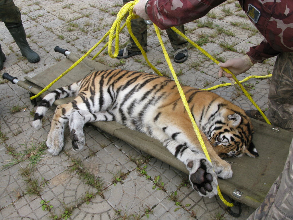 Cub gets medical check-up (c) Inspection Tiger