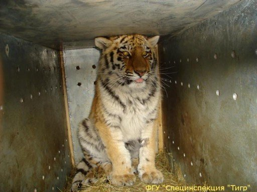 Transporting tiger to rehabilitation center