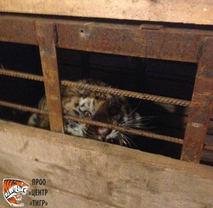 Injured tiger cub (c) PRNCO Tiger Centre