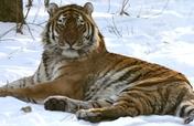 Help Tiger Rehabilitation Center in Russia