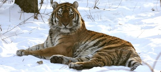 Help Tiger Rehabilitation Center in Russia