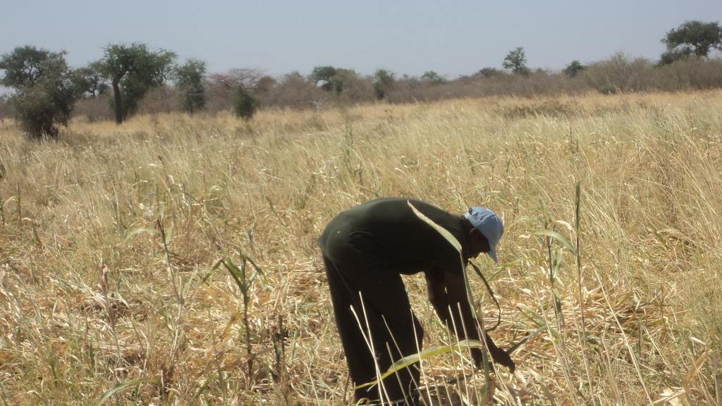 Harvesting sorghum.