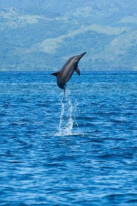 Long-term protection of Whales & Dolphins in Fiji