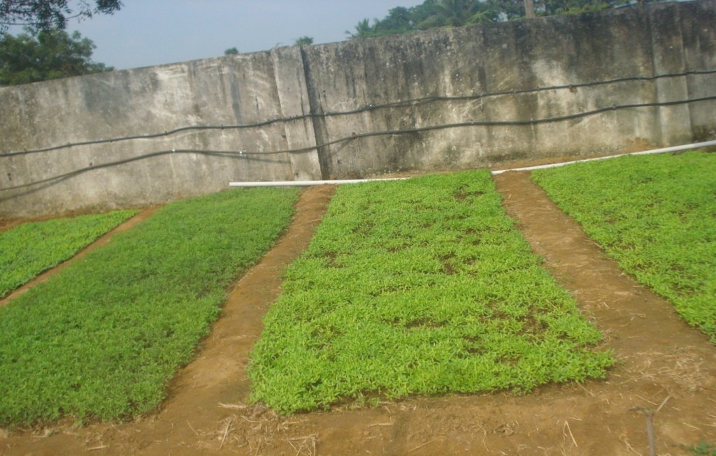 Greens at the growing stage