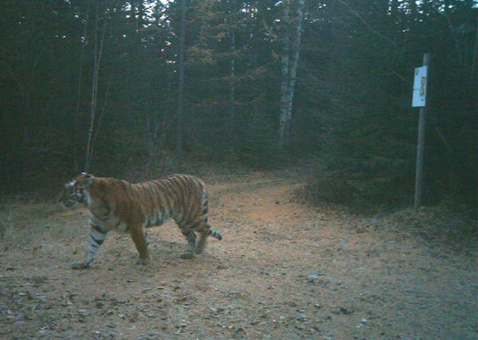 Tiger caught in a camera trap in Zov Tigra Park