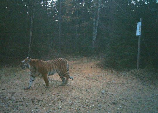 Tiger caught in a camera trap in Zov Tigra Park