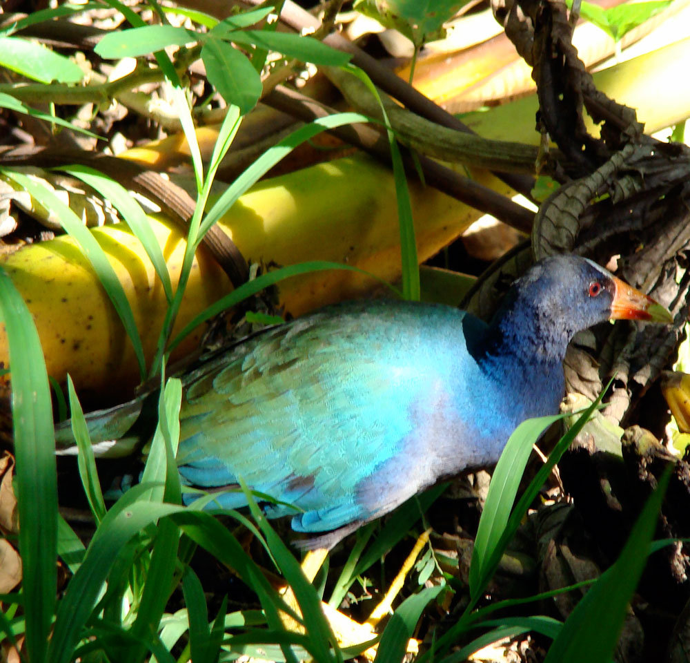 Blue Gallinule, a water bird in San Luis forest