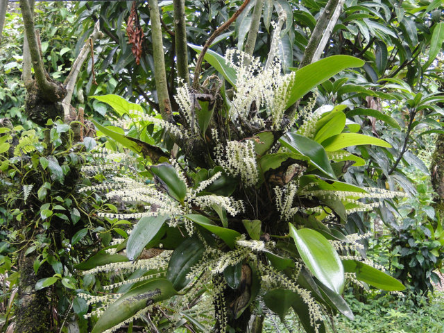 Orchid spray w/fragrance of vanilla