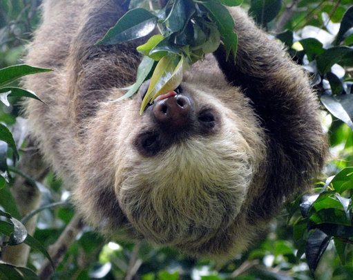 Two-toed Sloths depend on Marianos forest