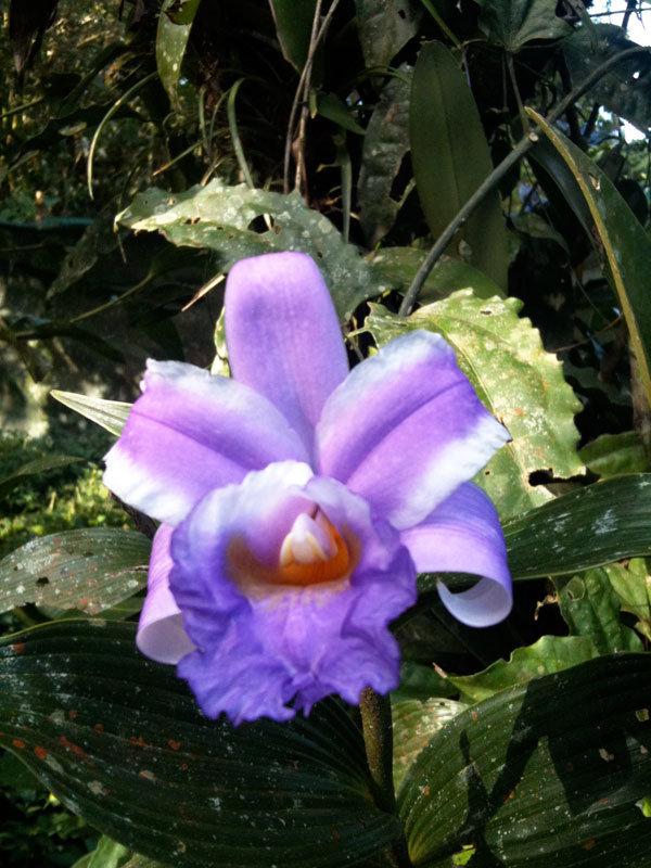 Flor de un Dia, a resident orchid, San Luis forest