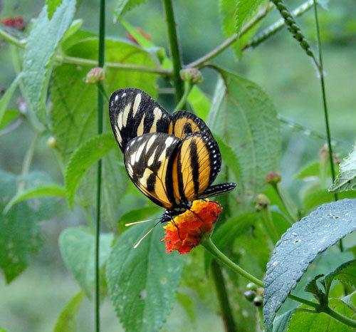 A resident butterfly feeding on Lantana flower