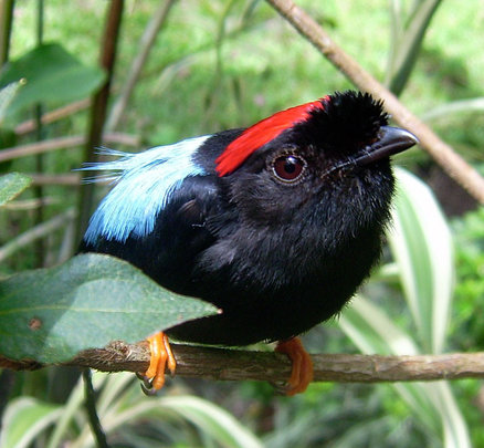 One inhabitant of the San Luis Forest, Manakin