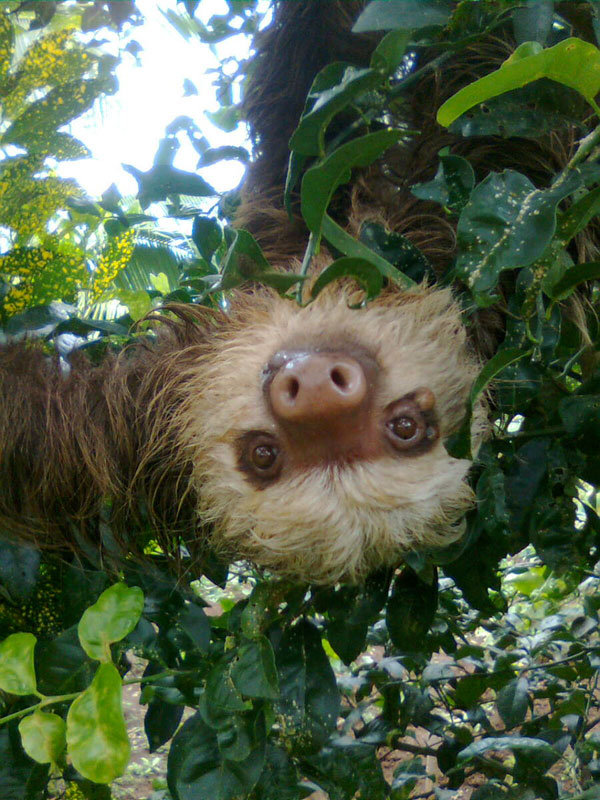 Two-toed Sloth, another resident
