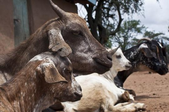 Five goats that made a difference