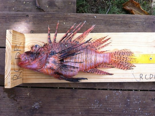 The biggest Catch at the Lion Fish Fair
