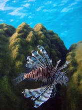 Lion Fish in Dominican waters