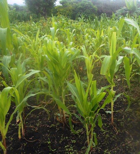 GBPS Corn Farm