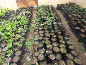 Seedlings at school, ready for planting.