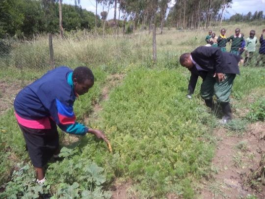 Nyonjoro Primary School garden- plenty of carrots!