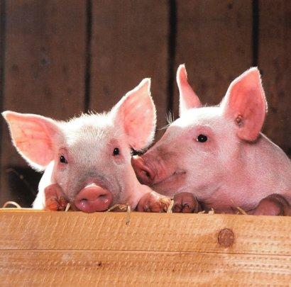 Humane Treatment of Farm Animals