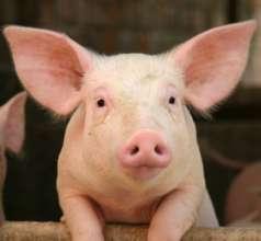 Farm Animal: Pig