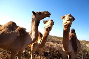 Fatumo's camels