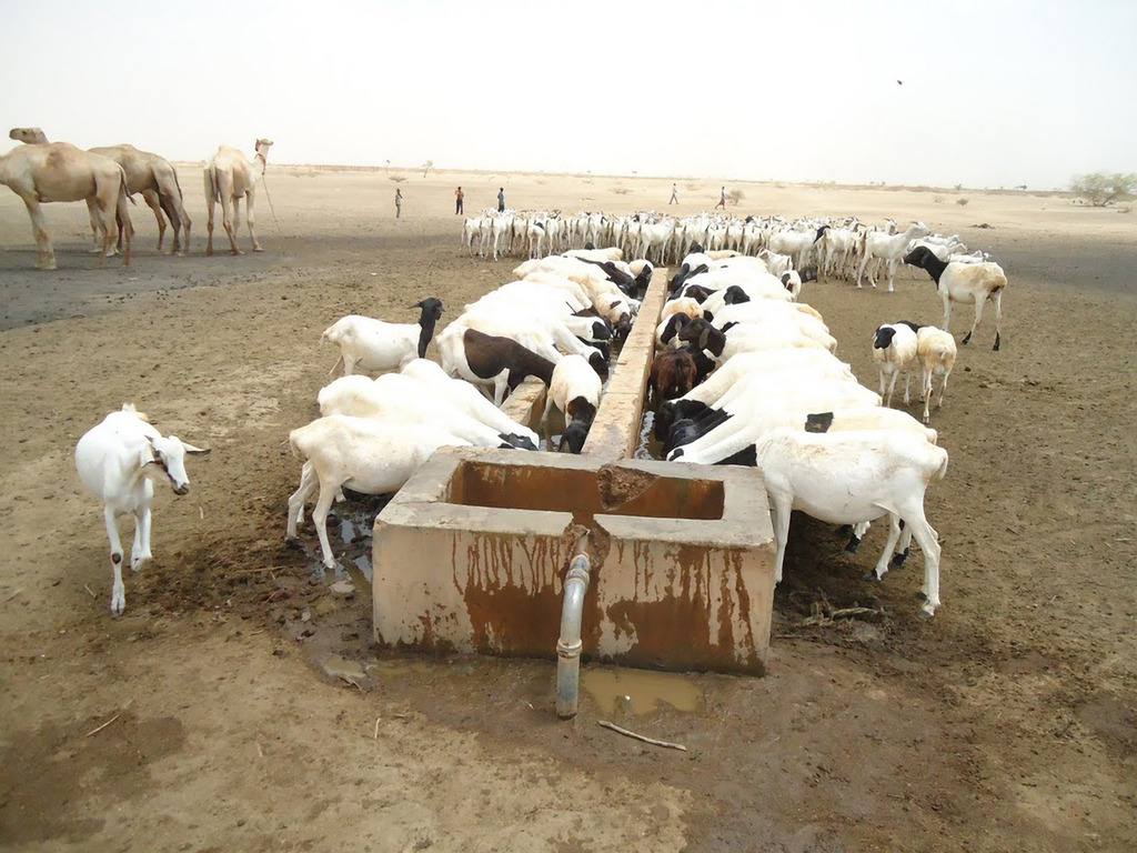 Livestock accessing Mercy Corps supplied water