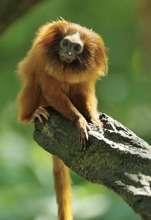 Critically endangered lion tamarin