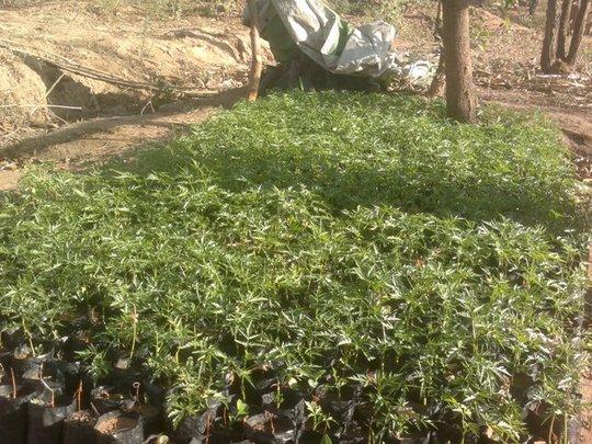 New Melia Volkensii saplings have thrived so far