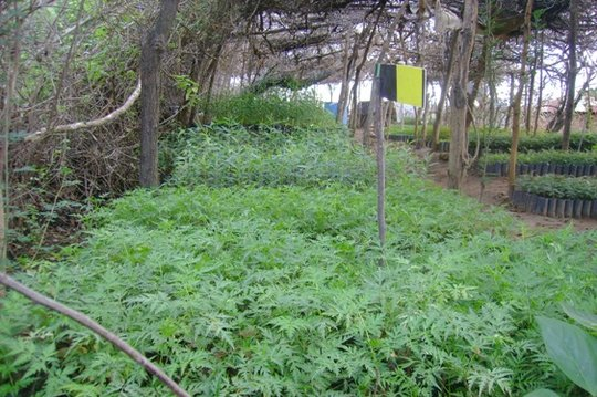 Tree Nursery (Oct 2011)
