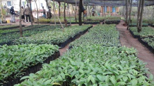 Tree nursery before issuing of seedlings